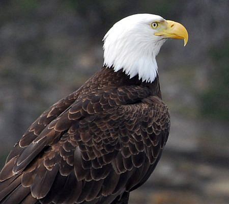 Photo of a Bald Eagles near Vancouver Island, BC Canada