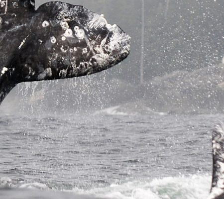 Photo of a Gray Whales near Vancouver Island, BC Canada