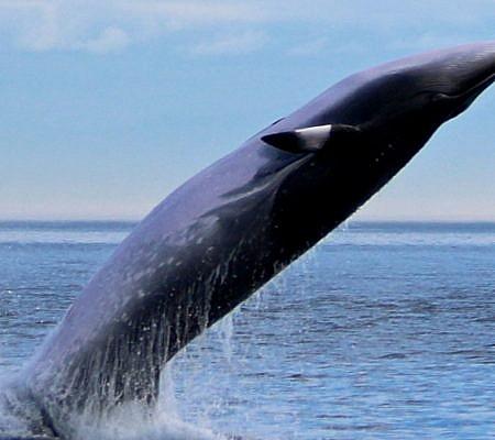 Photo of a Minke Whales near Vancouver Island, BC Canada