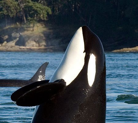 Dall's Porpoise Inhabit the North Pacific Ocean