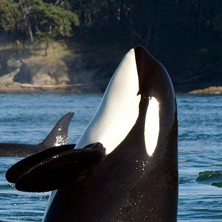 Photo of a Orca Whales near Vancouver Island, BC Canada