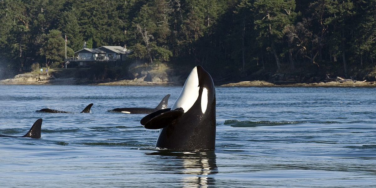 Best Place To See Orcas In Vancouver Island