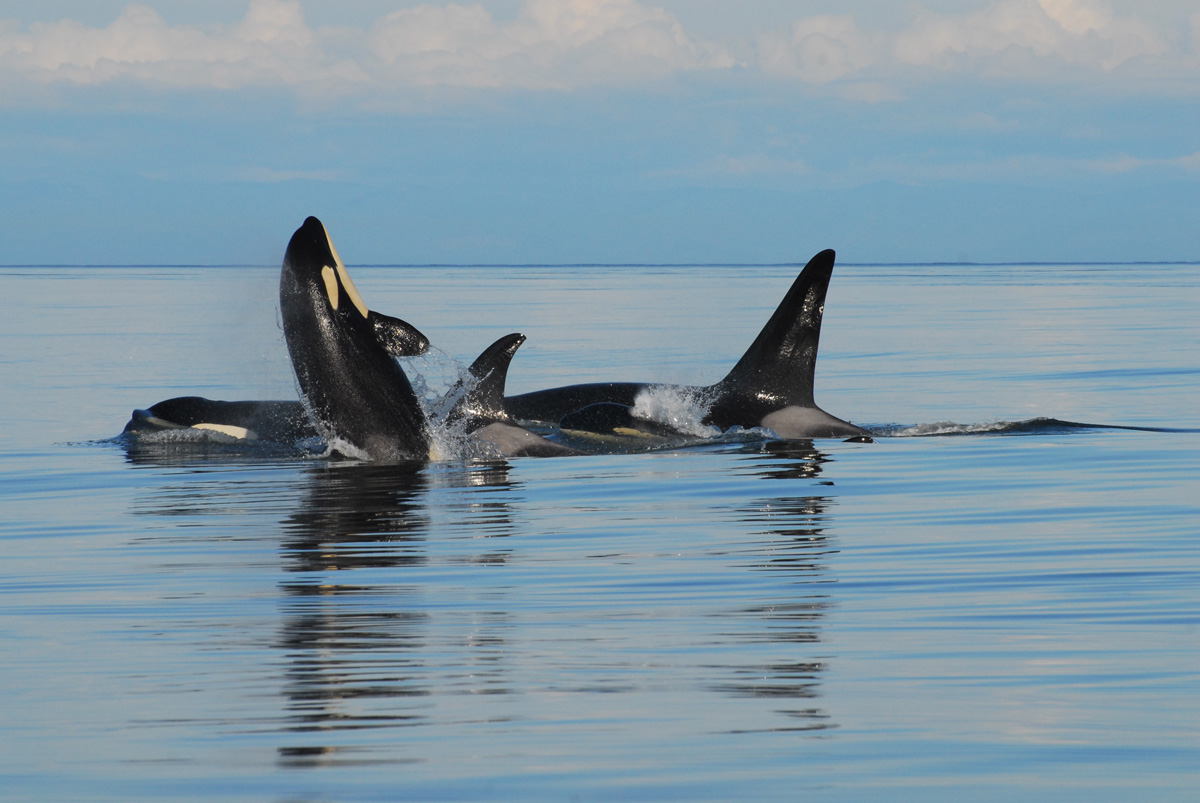 vancouver island whale watching u2022 an unforgettable expn bay