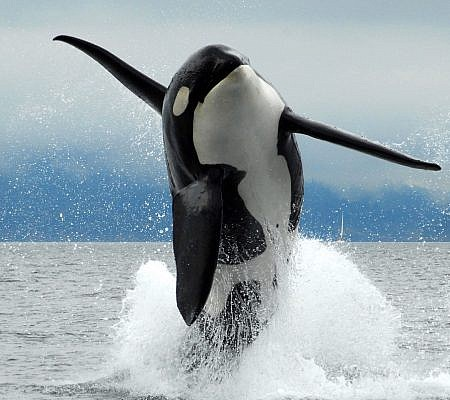 salish sea orca explorer canadian gulf islands ocean ecoventures