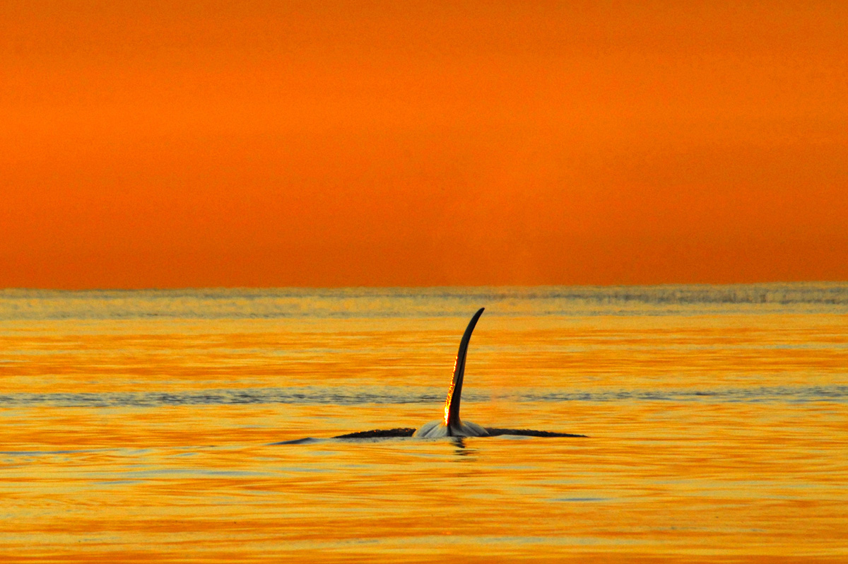 transient-orca-whale-vancouver-island