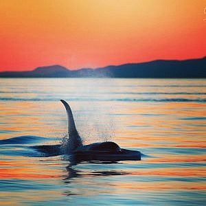 Vancouver Island's Ultimate Whale Watching Day Tour