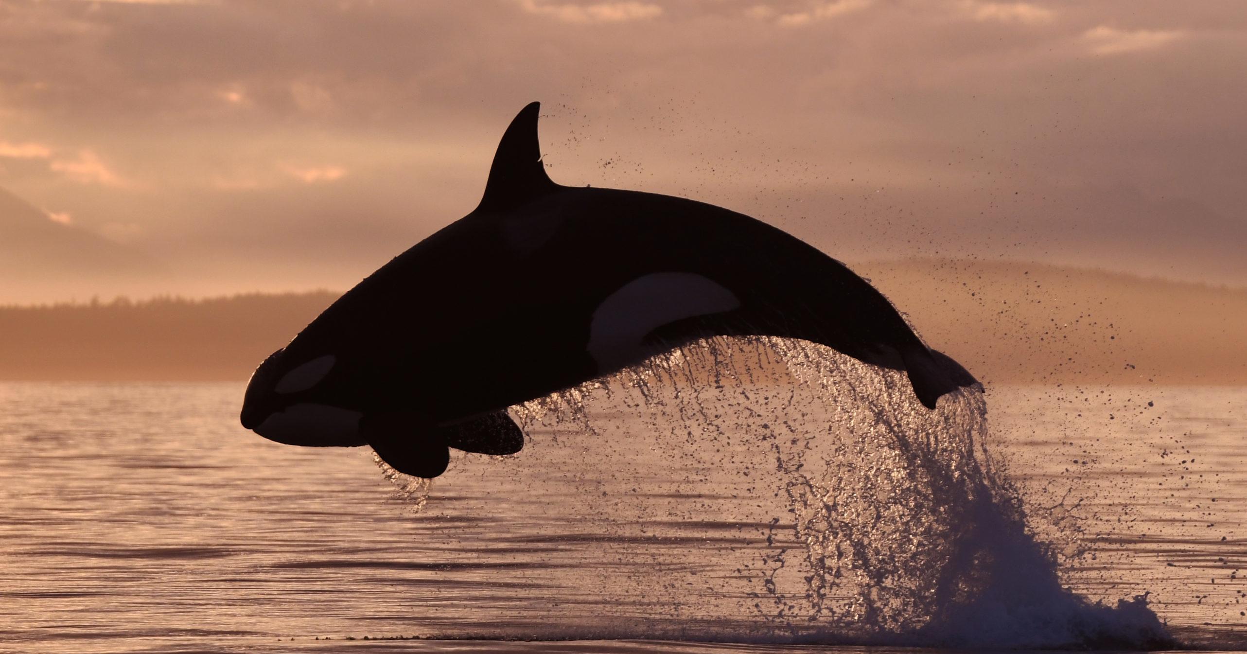Salish Sea Orca Explorer – Canadian Gulf Islands